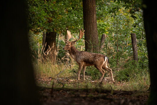 Fallow deer during rutting time. European wildlife nature. Deer moving in the forest. Fallow deer during autumn.