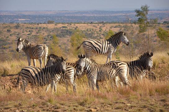 Zebra grazing, South Africa, around Pretoria