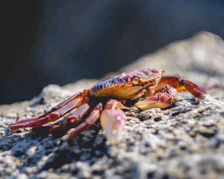 Close up of a little red crab on a rock under the sunlight