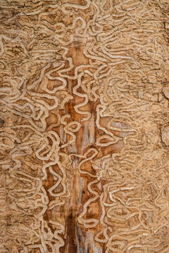 drawing made by the insect the emerald ash borer under the bark of a mature tree