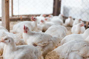 Chickens in the pen. Domestic bird. Chickens eat grain. Agriculture. Breeding chickens. Clean meat