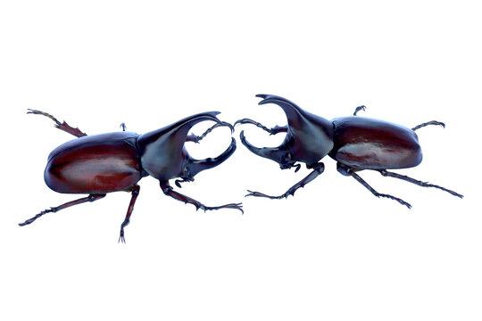 Dynastinae or rhinoceros beetles or fighting beetles