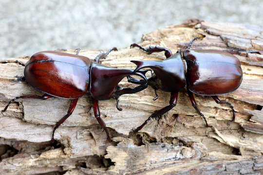 rhinoceros beetles or fighting beetles on the tree