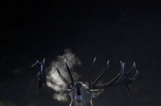 A male deer barks during the annual rutting or breeding season, Richmond Park, London