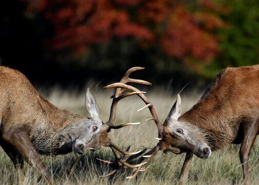 Male deer clash antlers during the annual rutting or breeding season, Richmond Park, London