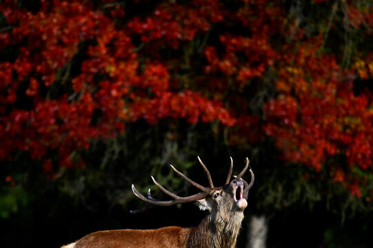 A male deer barks in front of autumn foliage during the annual rutting or breeding season, Richmond Park, London