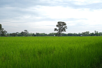 Rice field landscape , green Nature background
