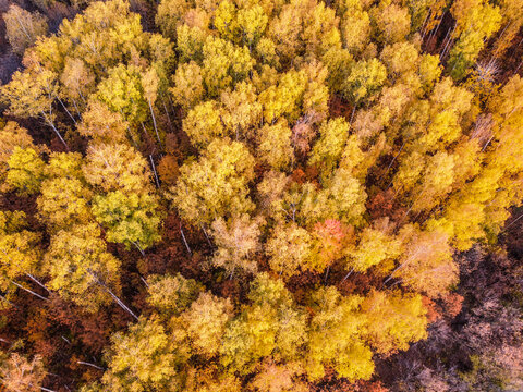 Aerial top down landscape view over yellow autumn forest with birch trees during sunset, Samara, Russia