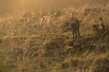 Wall Mural - A Cheetah in the evening light at Masai Mara, Kenya