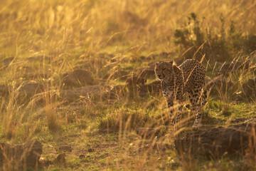 Wall Mural - A drenched Cheetah moving in the grasses at Masai Mara, Kenya
