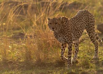 Wall Mural - A drenched Cheetah in the evening light at Masai Mara, Kenya