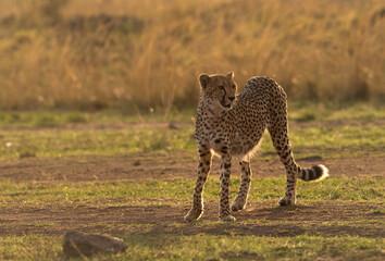 Wall Mural - Portrait of a Cheetah in the evening light, Masai Mara