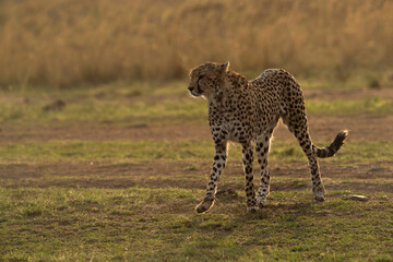 Wall Mural - Cheetah in the evening light at Masai Mara, Kenya