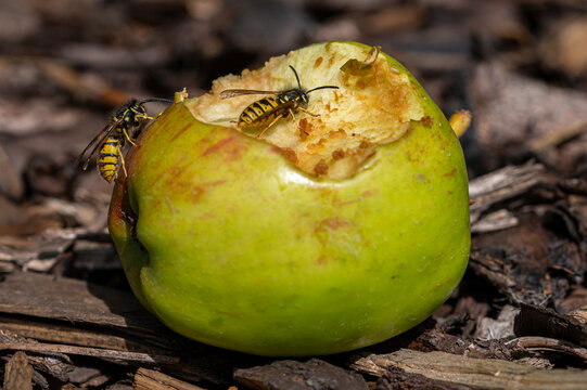 Vespula germanica, european yellow jacket wasp eating a discarded apple