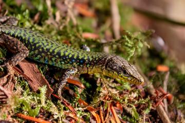 Lizard close up. Wild nature Wall mural