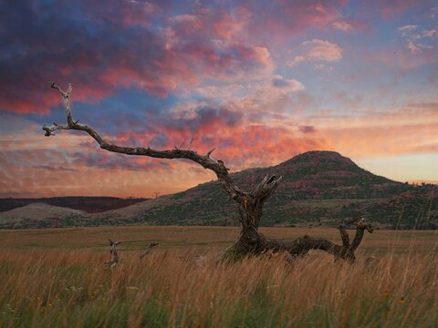 Big leafless tree in a meadow at the Wichita Mountains, Oklahoma.