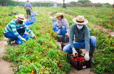 Photo sur Plexiglas Dinosaurs Male and female workers in protective masks gathering crop of tomatoes on field with many damages after thunderstorm with massive rain