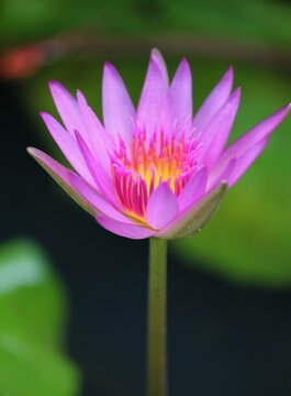 A semi-closed pink and yellow waterlily flower in a pond, soft background
