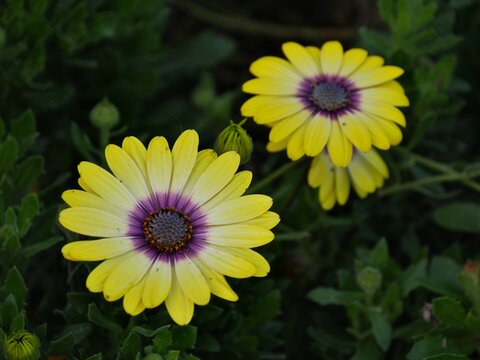 Close up of yellow and purple African daisies with unopened buds around
