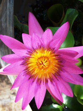 Portrait, close up of a pink and yellow lotus flower