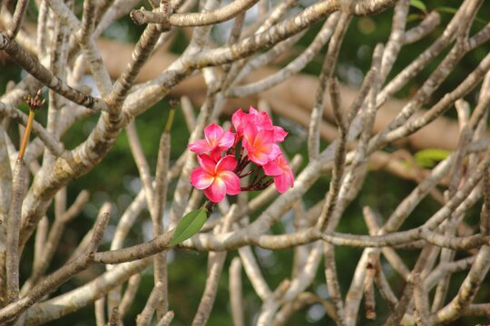Small bouquet of bright pink frangipani or plumeria flowers