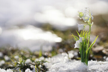 The first spring flowers. Snowdrops in the forest grow out of the snow. White lily of the valley flower under the first rays of the spring sun.