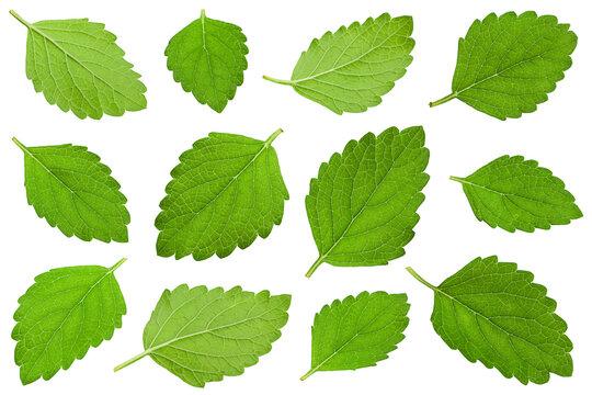 Mellisa lemon balm leaf collection