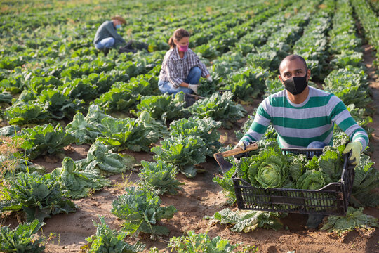 Latin american farm worker in protective face mask working in field, harvesting savoy cabbage. New life reality in coronavirus pandemic..