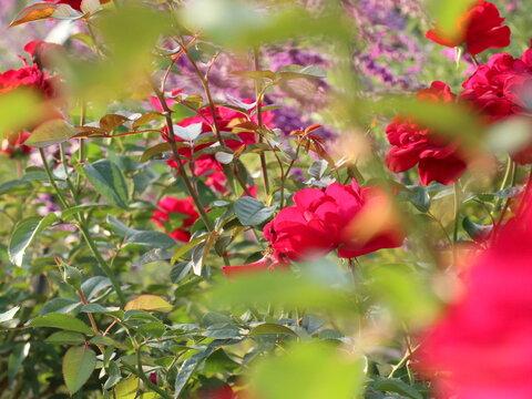 バラ園の赤いバラ2