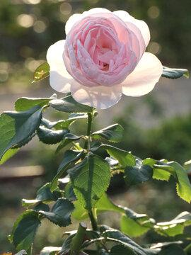 ピンクの一輪のバラ