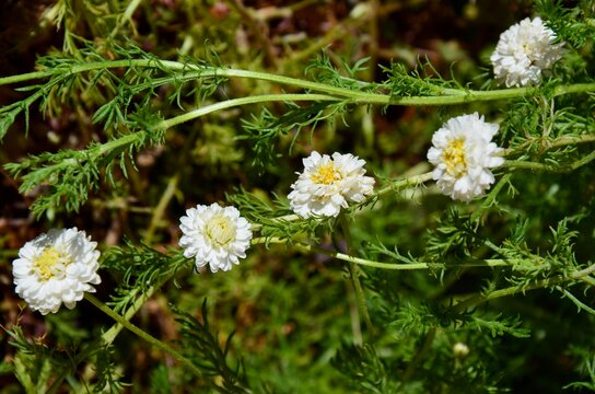 Fresh green roman chamomile with white flowers, closeup, background