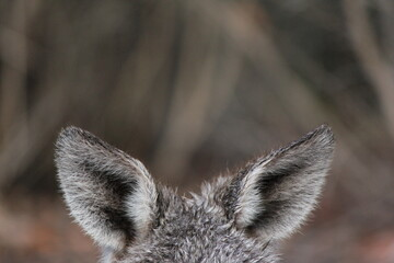 macropus giganteus grey kangaroo lying on ground, close up, Grampians national park, Australia, Down under, Victoria