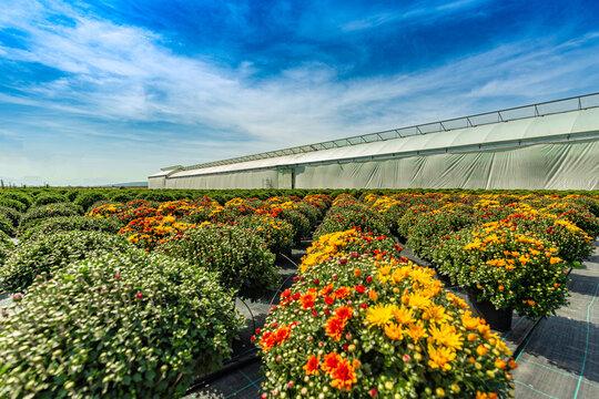 Chrysanthemum plantations in flower pots