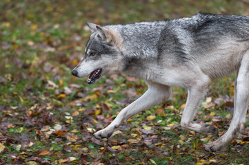 Wall Mural - Grey Wolf (Canis lupus) Runs Left Across Autumn Leaves