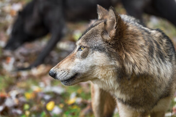 Wall Mural - Grey Wolf (Canis lupus) Looks Left Black in Background Autumn
