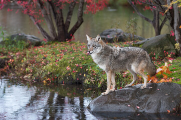 Wall Mural - Coyote (Canis latrans) Stands on Rock Licking Nose Island Autumn
