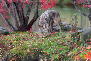 Wall Mural - Coyote (Canis latrans) Sniffs at Ground on Island Autumn