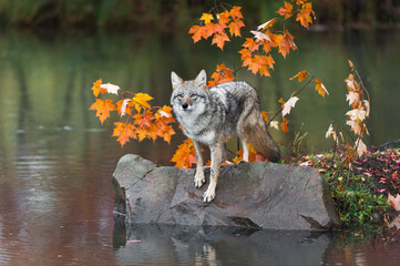 Wall Mural - Coyote (Canis latrans) Looks Out From Rock Paw Forward Autumn