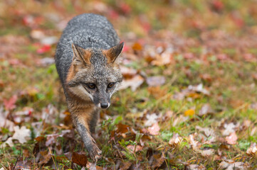Wall Mural - Grey Fox (Urocyon cinereoargenteus) Steps Forward Autumn