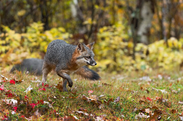 Wall Mural - Grey Fox (Urocyon cinereoargenteus) Turns and Move Right in Light Drizzle Autumn