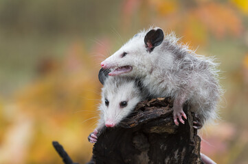 Wall Mural - Virginia Opossum (Didelphis virginiana) Joeys Together on Log Autumn