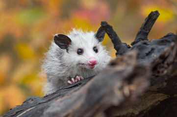 Wall Mural - Virginia Opossum (Didelphis virginiana) Joey Looks Out Alone on Log Autumn