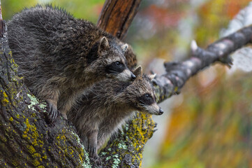 Wall Mural - Raccoons (Procyon lotor) Sit Together Looking Right in Tree in Rain Autumn