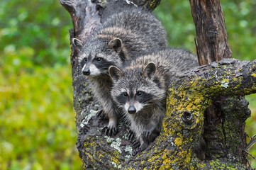 Wall Mural - Raccoons (Procyon lotor) Side by Side in Tree Autumn