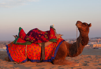 Beautiful decorated camel waiting tourists for riding over dunes in Thar desert near Jaisalmer, Rajasthan, India