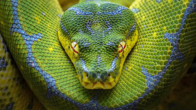 Green Python Chondropython