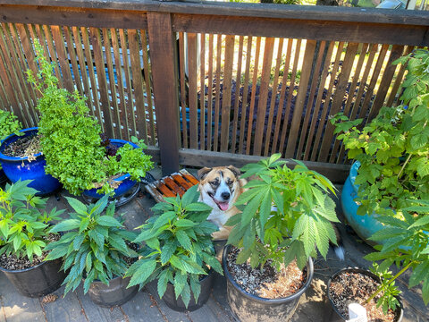 A St Bernard Husky mix dog sits on a patio surrounded by cannabis plants (marijuana) in the summertime