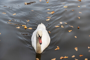 White swans swim in the lake in the autumn Park.