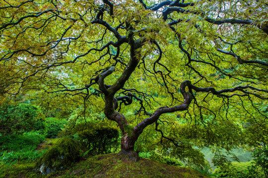 Japanese Maple Tree in Portland Japanese Garden when it's green