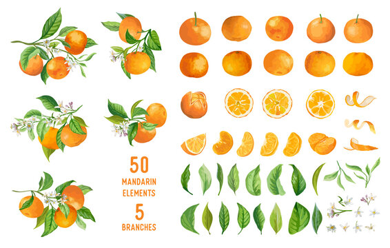 Mandarin fruits, flowers, leaves vector watercolor illustration. Set of whole, cut in half, sliced on pieces mandarins